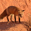 Red Fox,   Bryce Canyon, Utah