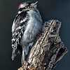 Downy Woodpecker (Male))