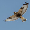 Rough-legged Hawk Soaring