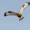 A mature rough-legged hawk.