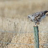 Just landed - Rough-legged Hawk (light adult)