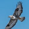 Rough-legged Hawk (light adult)