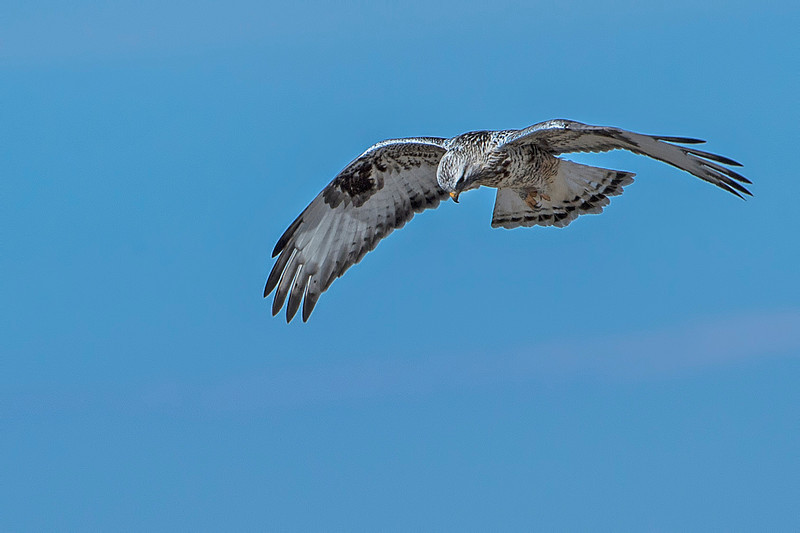 The wind was strong resulting in this Rough-legged hawk being less flighty and hovering close overhead.