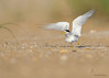 "<center><font face=""Century Gothic"" size=""+1"" color=""#FFFFFF"">Least Tern taking flight</font></center><font face=""Century Gothic"" size=""+1"" color=""#3366FF""><center><font color=""#377915"">Summer Haven, Florida</font></center></font>"