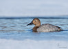 "<center><font face=""Century Gothic"" size=""+1"" color=""#FFFFFF"">Canvasback (female)</font></center><font face=""Century Gothic"" size=""+1"" color=""#3366FF""><center><font color=""#377915"">Portage Lakes, Ohio</font></center></font>"