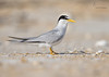 <center><font>Least Tern</font></center><font></font><center><font>Summer Haven, Florida</font></center>