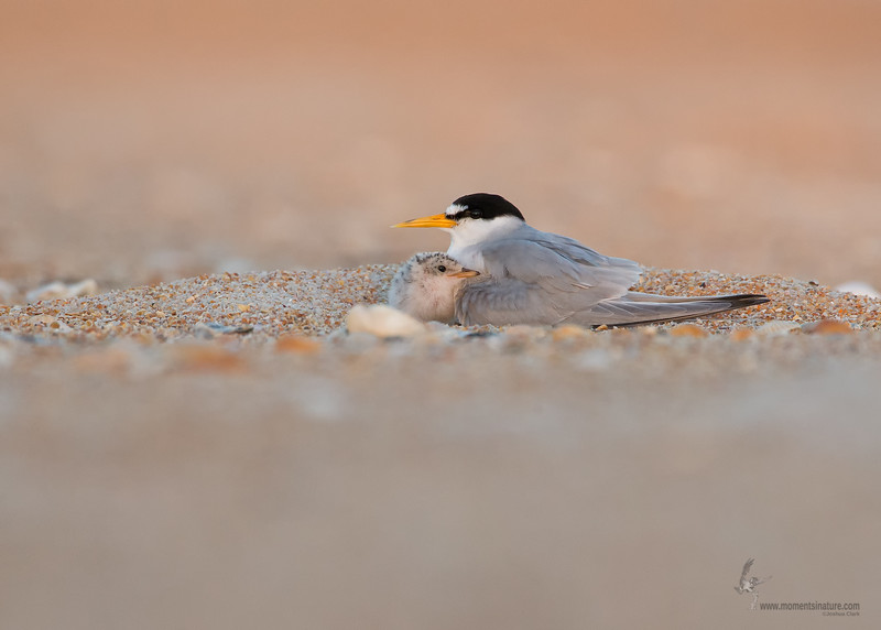 "<center><font face=""Century Gothic"" size=""+1"" color=""#FFFFFF"">Least Terns</font></center><font face=""Century Gothic"" size=""+1"" color=""#3366FF""><center><font color=""#377915"">Summer Haven, Florida</font></center></font>"