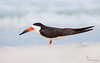 <center><font>Black Skimmer</font></center><font></font><center><font>Indian Shores, Florida</font></center>