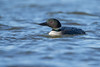 "<center><font face=""Century Gothic"" size=""+1"" color=""#FFFFFF"">Common Loon</font></center><font face=""Century Gothic"" size=""+1"" color=""#3366FF""><center><font color=""#377915"">Mosquito Creek Lake, Ohio</font></center></font>"