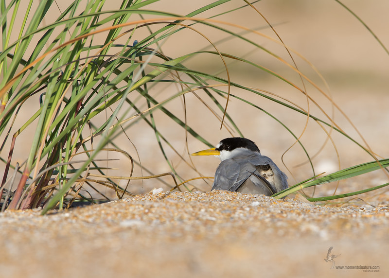 "<center><font face=""Century Gothic"" size=""+1"" color=""#FFFFFF"">Least Tern and baby</font></center><font face=""Century Gothic"" size=""+1"" color=""#3366FF""><center><font color=""#377915"">Summer Haven, Florida</font></center></font>"