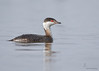"<center><font face=""Century Gothic"" size=""+1"" color=""#FFFFFF"">Horned Grebe (winter plumage)</font></center><font face=""Century Gothic"" size=""+1"" color=""#3366FF""><center><font color=""#377915"">Mosquito Creek Lake, Ohio</font></center></font>"