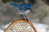Western Scrub Jay, Aphelocoma californica, Perched on a Snowshoe, La Plata County, Colorado, USA, North America