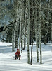 Probable Model Release, Woman Snowshoeing, Aspen Trees, La Plata County, Colorado, USA, North America