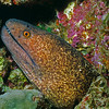 Yellowmargin Moray Eel A7-02