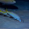 Yellow Goatfish 5684