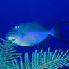 Queen Triggerfish I4-30