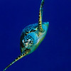 Green Sea Turtle I5-16B