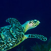 Green Sea Turtle I5-14