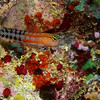 Fiji Clown Blenny 0513