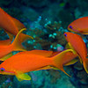 Scalefin Anthias 1185