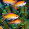 Stocky Anthias 1378B