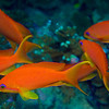 Redfin Anthias 1185