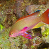 Scalefin Anthias 0286