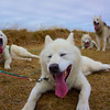 "Greenlandic sled dogs.   <a href=""http://www.Dogsledding.is"">http://www.Dogsledding.is</a>"