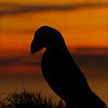 Atlantic Puffin in sunset..