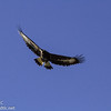 Golden Eagle doing a fly by after release