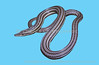 Burton's Legless Lizard on neutral background