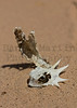 Flat-tailed Horned Lizard (skull and vertebrae)<br /> Imperial County, California.