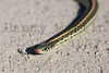Plains Gartersnake<br /> Bonny Reservoir, Yuma County, Colorado.