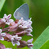 Summer Azure species on milkweed
