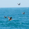 Cormorants in flight, Sound of Jura