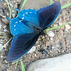 Pipevine Swallowtail butterfly. They were everywhere! Hammock camping at Big Bend Campground, WV. July 2014, Digital.