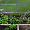 cool crops, lettuces, spinach, chinese cabbage, rainbow chard should hold up for the predicted frost to come on June 5th
