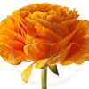 Orange Ranunculus Isolated on a White Background