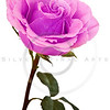 purple-pink rose isolated