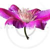 Pink and purple clematis isolated