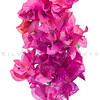 Bougainvillea with pink blossoms isolated