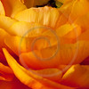 Orange Ranunculus Background