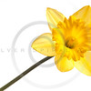 yellow daffodil isolated