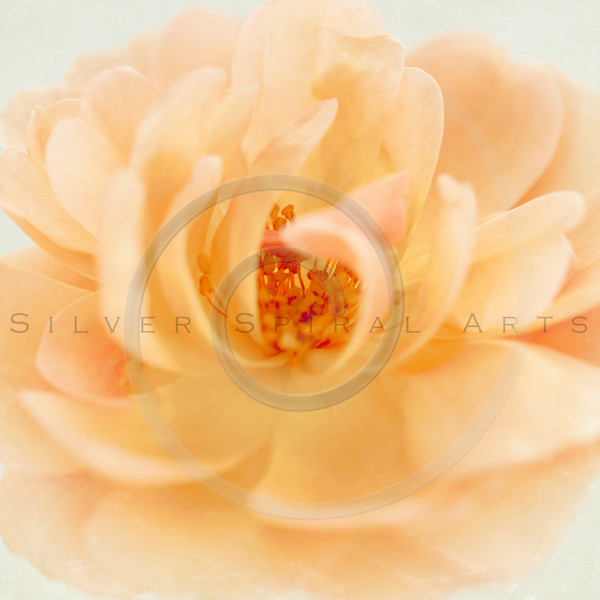 Wedding Peach Pink Garden Rose Flower