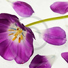 purple tulip isolated
