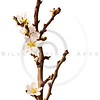 Blossoming Plum Branch Isolated on White Background