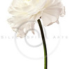 Ranunculus Isolated on a Pure White Background