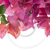 Bougainvillea with pink blossoms isolated on white background