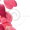 Pink rose petals isolated on white