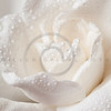 White Gardenia Blossom Isolated